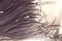 Glasseelskils