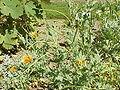 Glaucium fimbrilligerum1.jpg