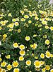 garland or crown daisy - Photo (c) KENPEI, some rights reserved (CC BY-SA)