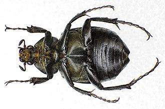Gnorimus variabilis - Image: Gnorimus variabilis under female
