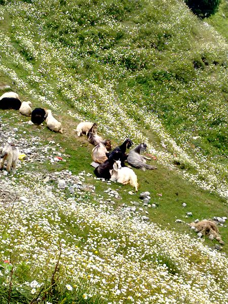 File:Goats resting in the Valley of Flowers at Dain Kund, Dalhousie, India.jpg