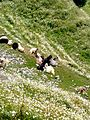 Goats resting in the Valley of Flowers at Dain Kund, Dalhousie, India.jpg