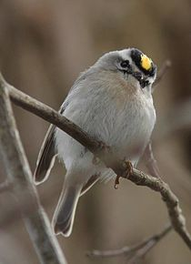 Golden-crowned kinglet (NJ).jpg