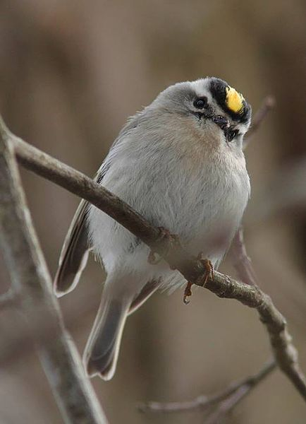 File:Golden-crowned kinglet (NJ).jpg