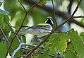 Golden-winged Warbler (36641473653).jpg
