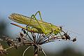 Grünes Heupferd ♀ Tettigonia viridissima 4.JPG