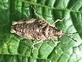Grasshopper - Pamphagidae (6951483733).jpg