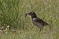 Grasshopper Sparrow (with food) Pawnee National Grasslands CO 2018-06-08 11-03-40 (33982009628).jpg
