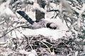 Gray jay on nest.jpg