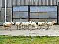 Green-spotted sheep - geograph.org.uk - 554773.jpg