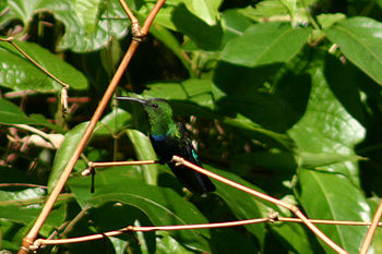 Green-throated carib hummingbird.jpg