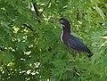 Green Heron (23811450018).jpg