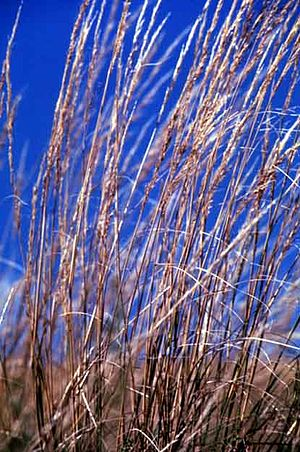 Stipa - Green needle grass, Stipa viridula