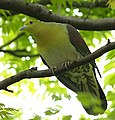 Green Pigeon 2364 (cropped).jpg