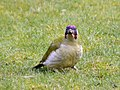Green Woodpecker (Picus viridis) - geograph.org.uk - 1195632.jpg