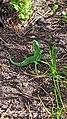 Green lizard protect itself.jpg
