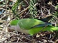 Green parrots at Parque por la Paz Villa Grimaldi - Santiago Chile - Peace Park (5278085420).jpg