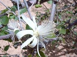 Grewia tenax Bild0687