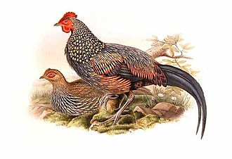 Grey junglefowl - Painting by John Gould