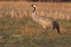 A Eurasian crane