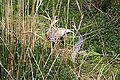 Grus vipio at the Bronx Zoo 008.jpg