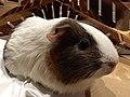Guinea pig pet 2.jpg