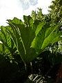 Gunnera manicata – Arboretum Ellerhoop 2.jpg