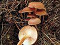 Gymnopus dryophilus 97221.jpg