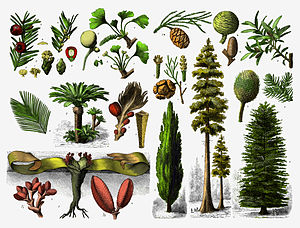 Gymnosperm - Various gymnosperms.
