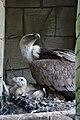 Gyps fulvus -DierenPark Amersfoort -adult and chick-8a.jpg