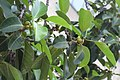 HKCL 香港中央圖書館 CWB tree green leaves 高山榕 Ficus altissima Oct-2017 IX1 01.jpg