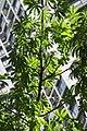 HK CWB 高士威道 Causeway Bay Road 維多利亞公園 Victoria Park tree Sept 2017 IX1 吉貝 Ceiba pentandra palm compound leaves 03.jpg