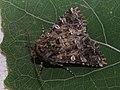 Hadena perplexa - Tawny shears - Совка куколицевая (41066277501).jpg