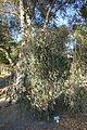 Hakea laurina - San Luis Obispo Botanical Garden - DSC05894.JPG
