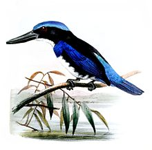 Blue-black kingfisher - WikiVisually