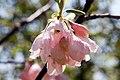Halesia carolina Arnold Pink 0zz.jpg
