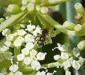 Halictidae sub genus Seladonia (39986952861).jpg