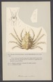 Halimus auritus - - Print - Iconographia Zoologica - Special Collections University of Amsterdam - UBAINV0274 006 01 0078.tif