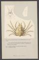 Halimus auritus - - Print - Iconographia Zoologica - Special Collections University of Amsterdam - UBAINV0274 006 01 0078.tif