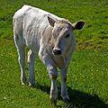 Hamburger On The Hoof - geograph.org.uk - 252577 (cropped).jpg