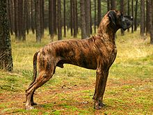 Great Dane with the brindle color pattern.