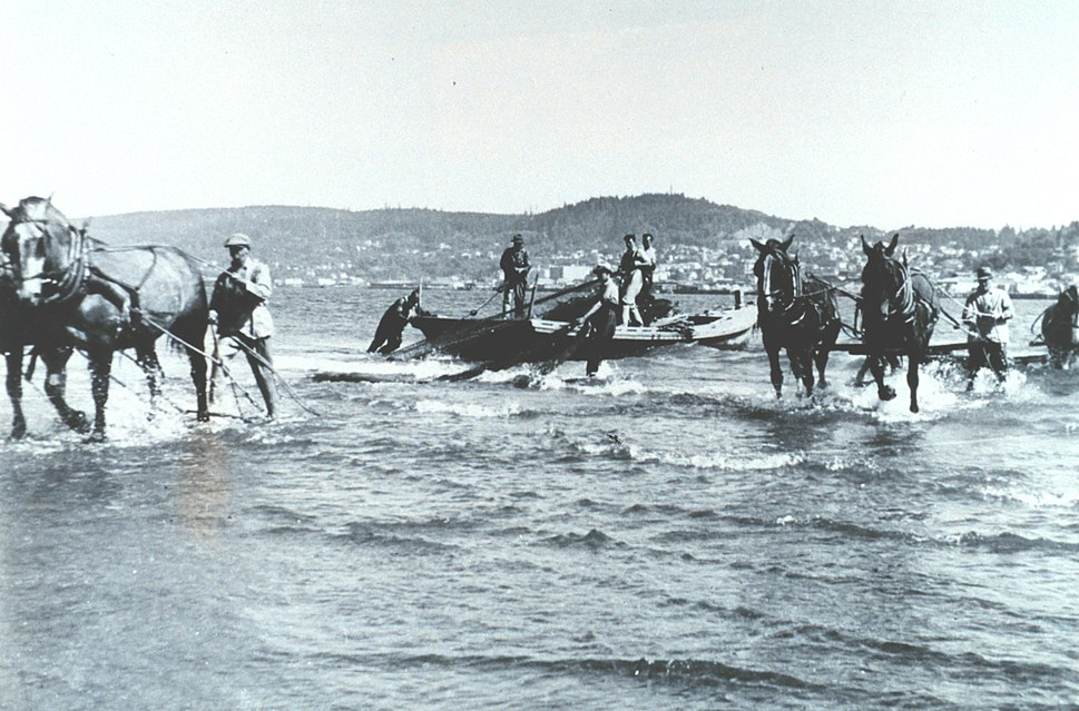 Hauling in beach seine using horse teams