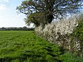 Hedgerow near Honkley - geograph.org.uk - 160467.jpg
