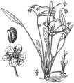 Helanthium tenellum BB-1913.png