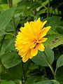 Helianthus x multiflorus (Soleil d'Or). Locatie De Kruidhof 03.JPG