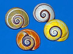 Painted snail aka Cuban land snail