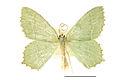 Hemithea aestivaria SLU.JPG