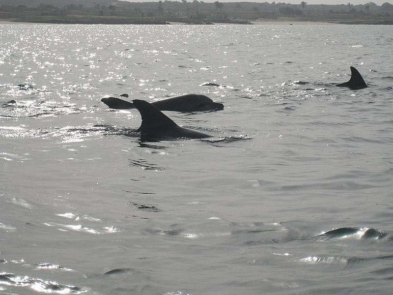 File:Hengam Dolphins (1).jpg