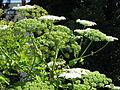 Heracleum mantegazzianum 06 by Line1.jpg