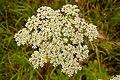 Heracleum sphondylium fleur.jpg